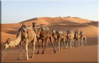 Camels1